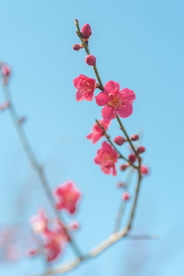 Ανθίζοντας ρόδινος κλάδος δέντρων beni-Chidori Prunus mume ενάντια στο μπλε ουρανό στοκ εικόνες με δικαίωμα ελεύθερης χρήσης