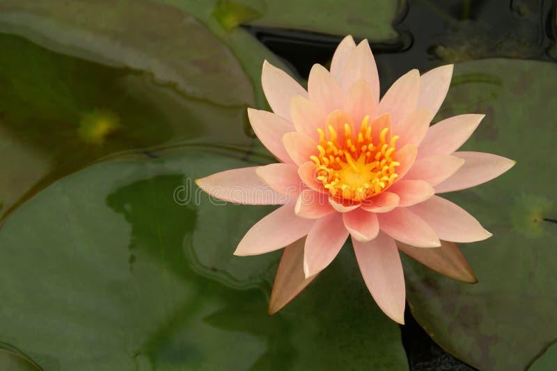 Ανθίζοντας ρόδινος κρίνος νερού, Nymphaea Κολοράντο, λουλούδι στοκ φωτογραφία με δικαίωμα ελεύθερης χρήσης
