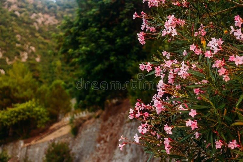 Ανθίζοντας ρόδινο oleander στοκ φωτογραφία με δικαίωμα ελεύθερης χρήσης