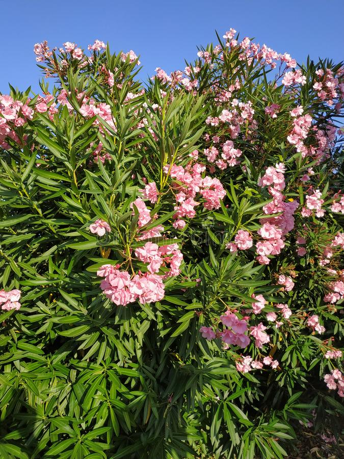 Ανθίζοντας ρόδινο oleander στοκ εικόνα