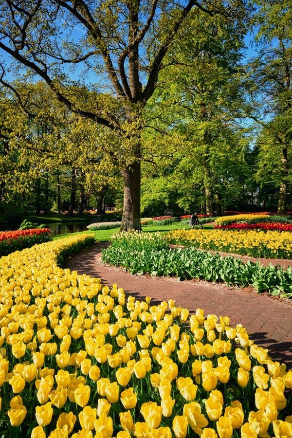 Ανθίζοντας τουλίπες flowerbeds στον κήπο λουλουδιών Keukenhof, Netherlan στοκ εικόνα με δικαίωμα ελεύθερης χρήσης