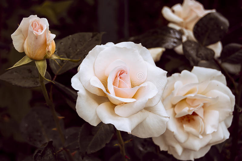 Ανθίζοντας τριαντάφυλλα κρέμας θάμνων στοκ φωτογραφία με δικαίωμα ελεύθερης χρήσης