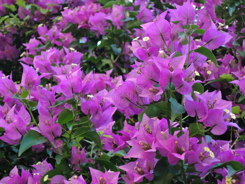 Ανθίζοντας υπόβαθρο λουλουδιών Bougainvillea Σύσταση και υπόβαθρο λουλουδιών Bougainvillea Δέντρο Bougainvillea άποψης κινηματογρ στοκ φωτογραφία με δικαίωμα ελεύθερης χρήσης