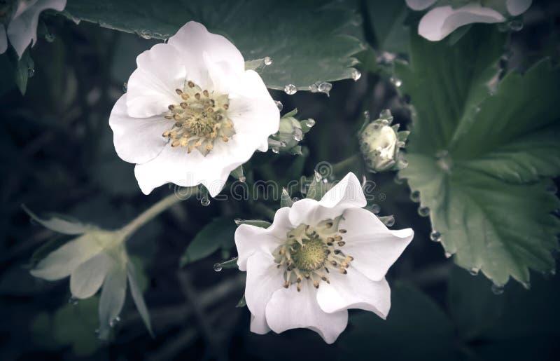 Ανθίζοντας φράουλα με τις πτώσεις δροσιάς στα λουλούδια στοκ φωτογραφία με δικαίωμα ελεύθερης χρήσης