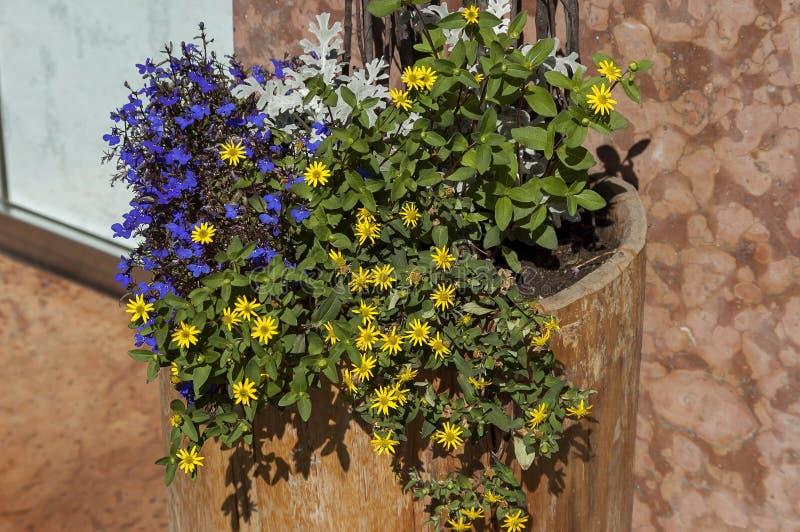 Ανθίζοντας φρέσκο ιώδες και κίτρινο λουλούδι διακοσμητικό flowerpot υπαίθρια, Cortina δ ` Ampezzo, δολομίτες, Άλπεις, Βένετο στοκ εικόνα