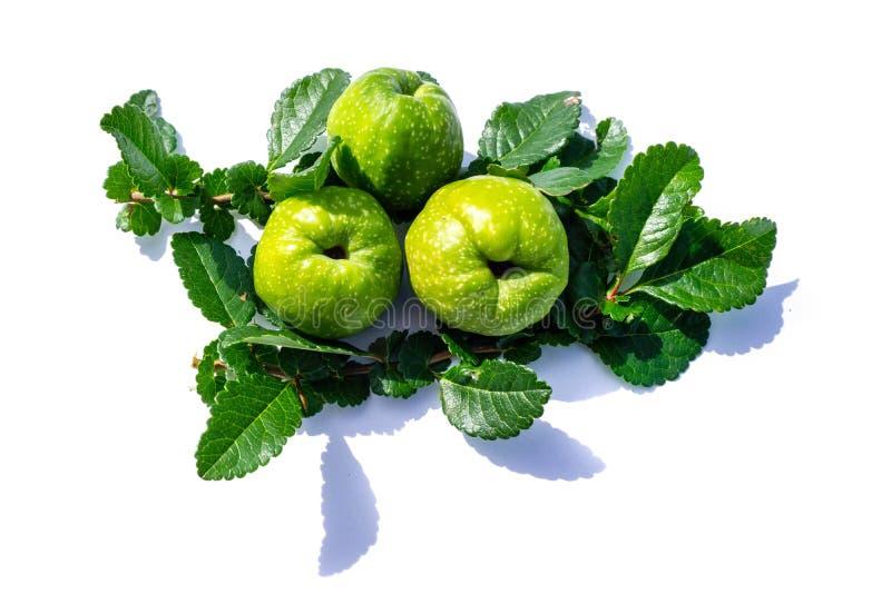 Ανθίζοντας φρούτα κυδωνιών που απομονώνονται στο άσπρο υπόβαθρο στοκ εικόνα με δικαίωμα ελεύθερης χρήσης