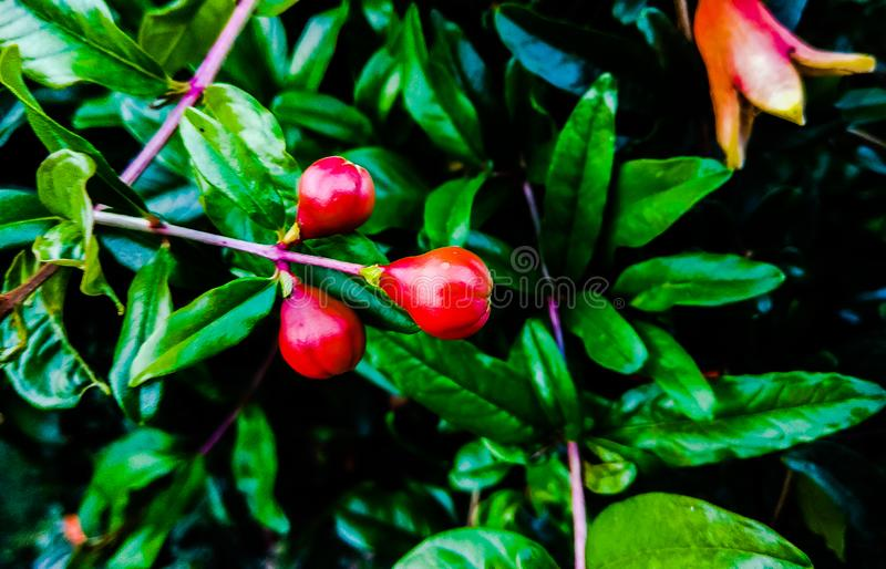 Ανθίζοντας φρούτα ροδιών στοκ φωτογραφία με δικαίωμα ελεύθερης χρήσης