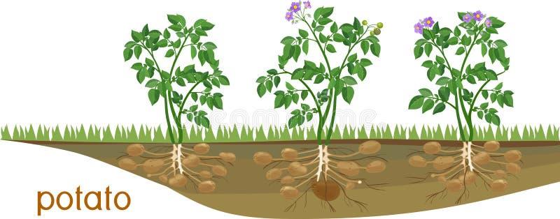 Ανθίζοντας φυτά πατατών με το σύστημα ρίζας και βολβοί στο φυτικό μπάλωμα απεικόνιση αποθεμάτων