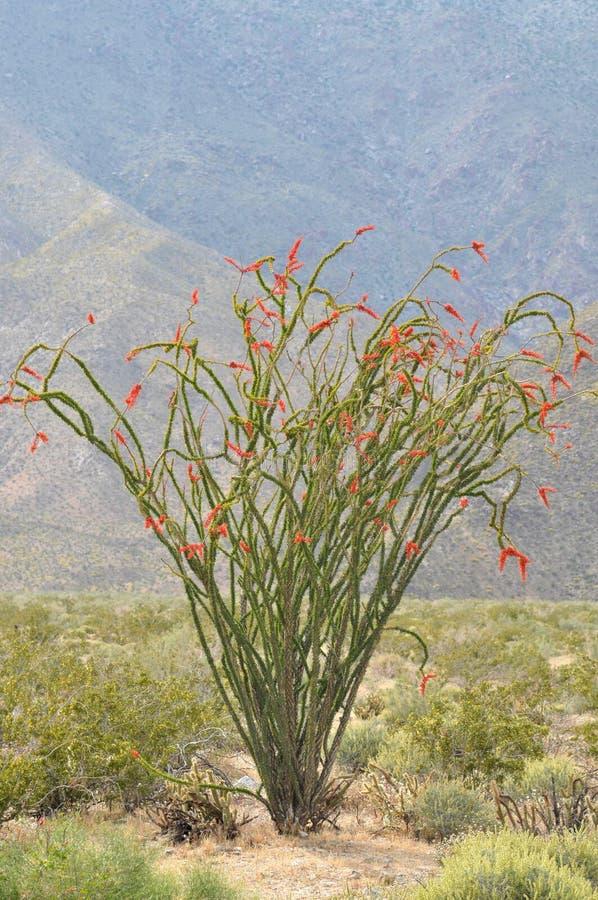 Ανθίζοντας φυτό κάκτων Ocatillo στο τοπίο βουνών ερήμων στοκ φωτογραφία
