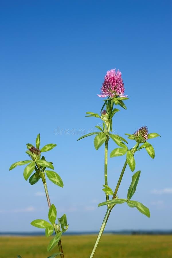 ανθίζοντας φυτό τριφυλλιού στοκ φωτογραφίες με δικαίωμα ελεύθερης χρήσης
