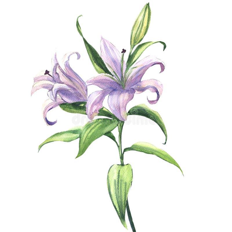 Ανθίζοντας όμορφο μπλε ή πορφυρό λουλούδι κρίνων που απομονώνεται, απεικόνιση watercolor ελεύθερη απεικόνιση δικαιώματος