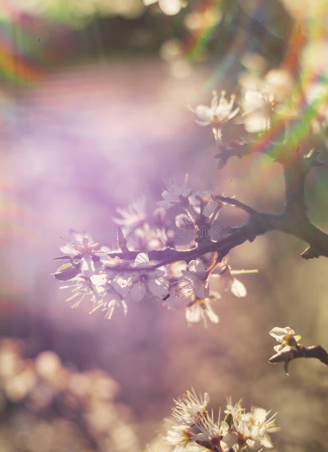 Ανθίζοντας blackthorn του Μπους αγκαθιών, spinosa Prunus στο θερμό ήλιο άνοιξη στην Ελλάδα στοκ φωτογραφία με δικαίωμα ελεύθερης χρήσης