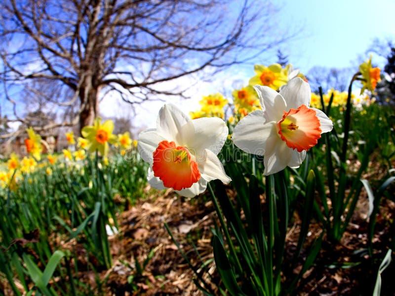 ανθίζοντας daffodil άνοιξη στοκ φωτογραφία