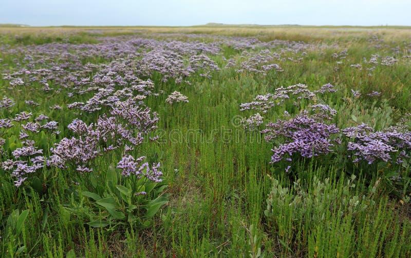 Ανθίζοντας Lavender θάλασσας σε de Slufter, Texel, Κάτω Χώρες στοκ εικόνα