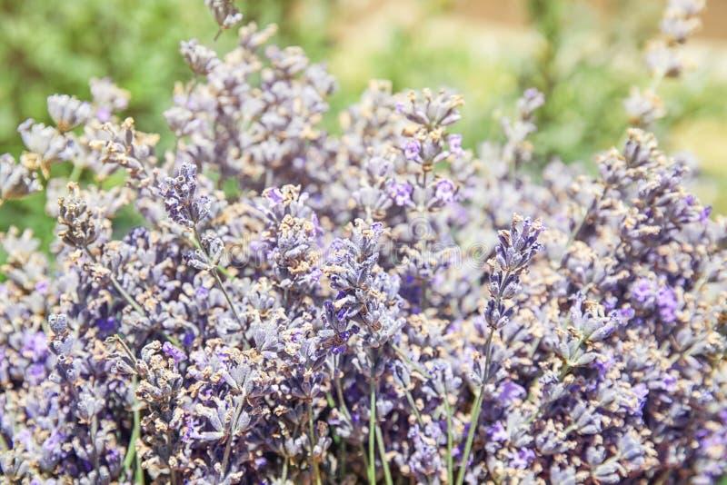 Ανθίζοντας lavender λουλούδια υπαίθρια την ηλιόλουστη ημέρα στοκ φωτογραφίες με δικαίωμα ελεύθερης χρήσης