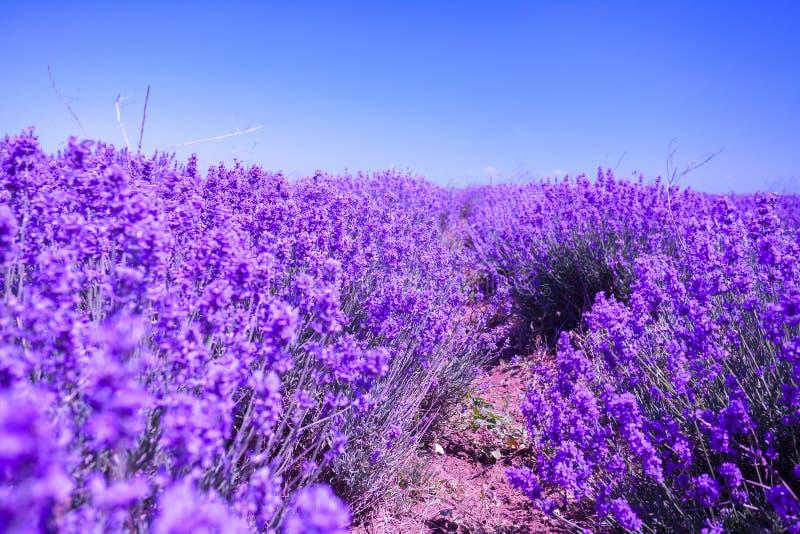 ανθίζοντας lavender πεδίων στοκ εικόνες