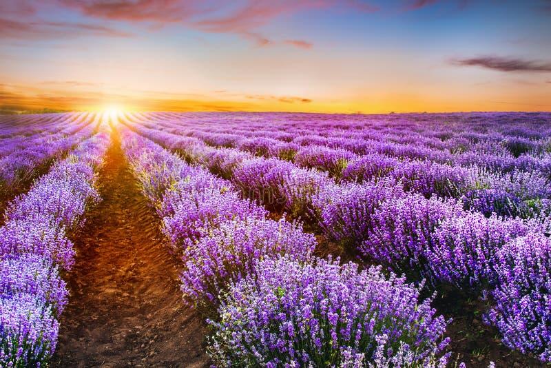 Ανθίζοντας lavender τομέας κάτω από τα κόκκινα χρώματα του καλοκαιριού sunse στοκ φωτογραφία