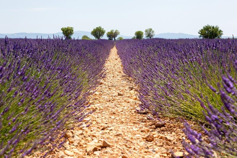 Ανθίζοντας lavender τομείς, France στοκ φωτογραφία