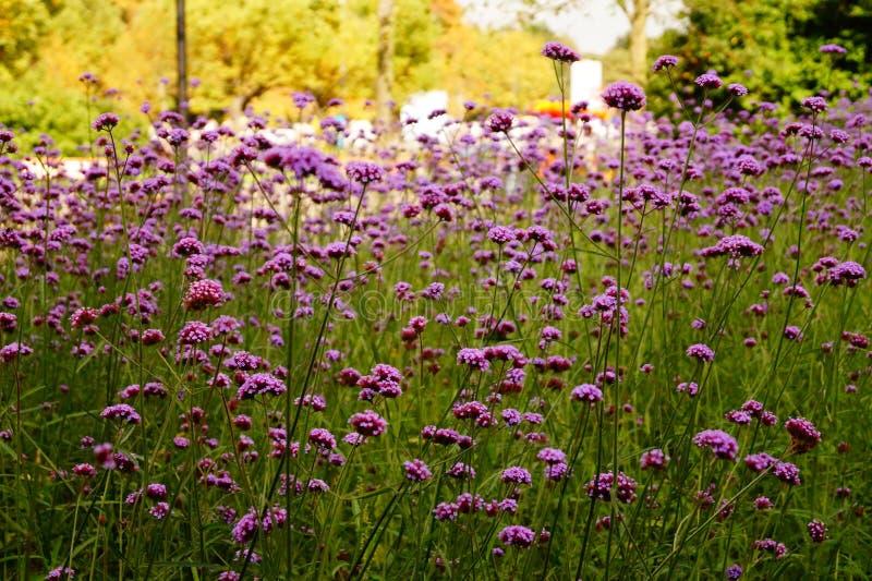 ανθίζοντας lavender στοκ φωτογραφία