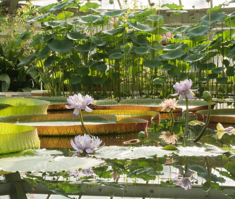Ανθίζοντας Lotus στο υπόβαθρο της αμαζόνειας Βικτώριας στοκ εικόνες