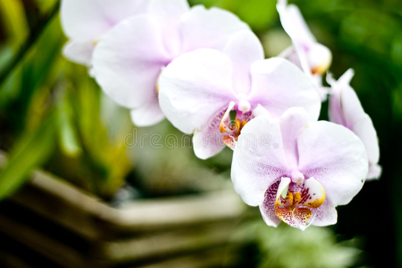 ανθίζοντας orchid λουλουδ&iota στοκ φωτογραφίες με δικαίωμα ελεύθερης χρήσης