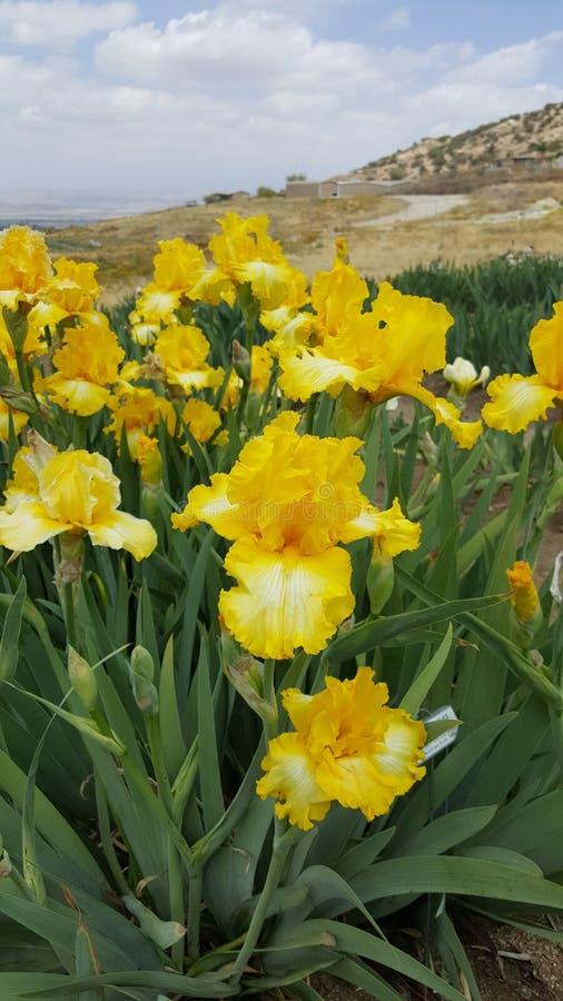 Ανθίσεις ανοίξεων Καλιφόρνιας Iris στους απόκρυφους κήπους λιμνών στοκ εικόνα με δικαίωμα ελεύθερης χρήσης
