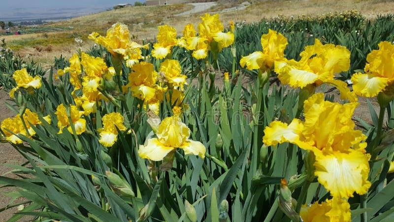 Ανθίσεις ανοίξεων Καλιφόρνιας Iris στους απόκρυφους κήπους λιμνών στοκ φωτογραφία