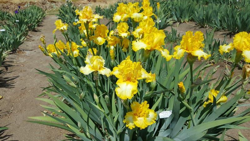 Ανθίσεις ανοίξεων Καλιφόρνιας Iris στους απόκρυφους κήπους λιμνών στοκ φωτογραφίες με δικαίωμα ελεύθερης χρήσης
