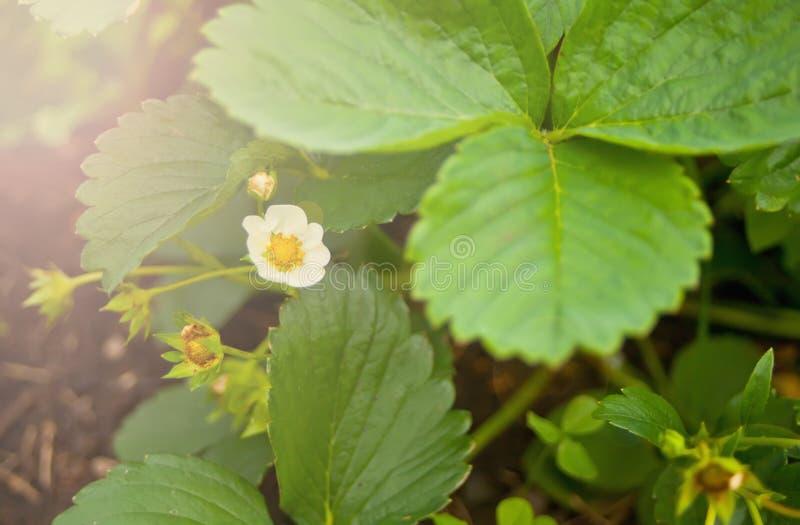 Ανθίσεις εγκαταστάσεων φραουλών στον κήπο Ανθίζοντας φράουλες Φράουλες κήπων που αυξάνονται στον κήπο Θάμνοι φραουλών στοκ φωτογραφίες με δικαίωμα ελεύθερης χρήσης