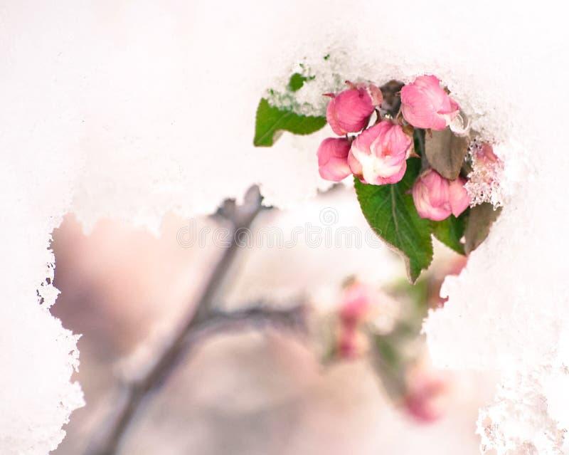 Ανθίσεις καβούρι-Apple στο πρόωρο χιόνι ανοίξεων στοκ εικόνες