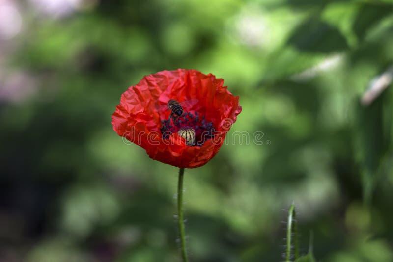 Ανθίσεις μιας οι κόκκινες παπαρούνας στον κήπο σε ένα πράσινο κλίμα, μια μέλισσα πετούν σε ένα λουλούδι Όμορφο κόκκινο λουλούδι στοκ εικόνες με δικαίωμα ελεύθερης χρήσης