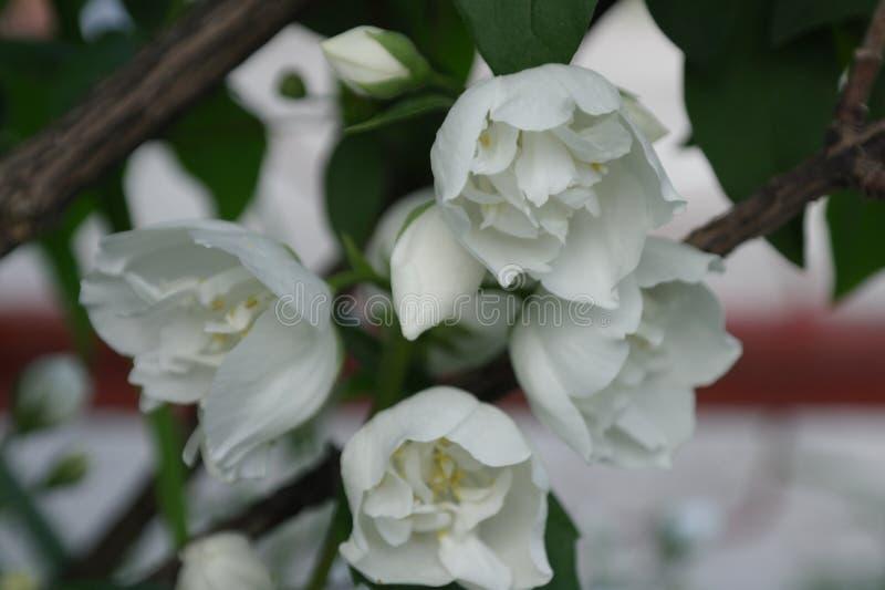 Ανθίσεις Chubushnik με τα διπλά κουδούνια λουλουδιών στοκ εικόνα με δικαίωμα ελεύθερης χρήσης