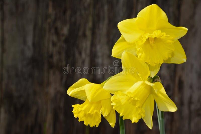 Ανθίσεις Daffodil στοκ εικόνα
