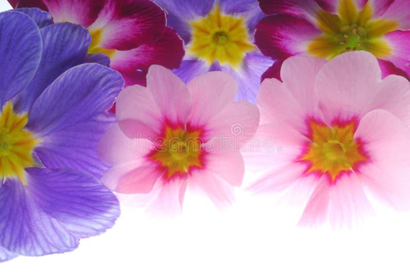 ανθίστε το primula στοκ εικόνες με δικαίωμα ελεύθερης χρήσης