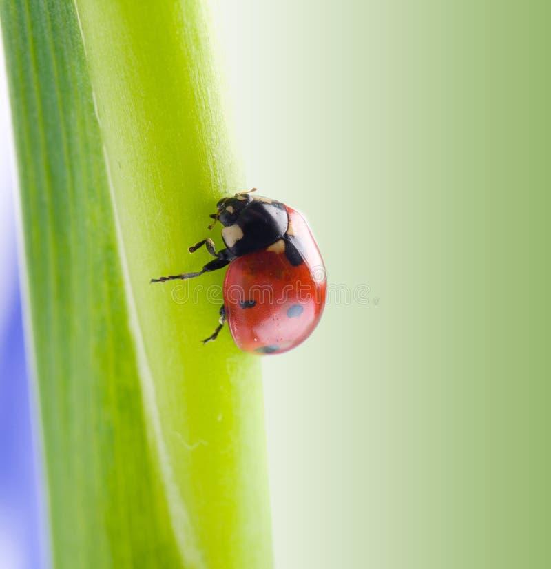 ανθίστε ladybug το πέταλο στοκ φωτογραφία