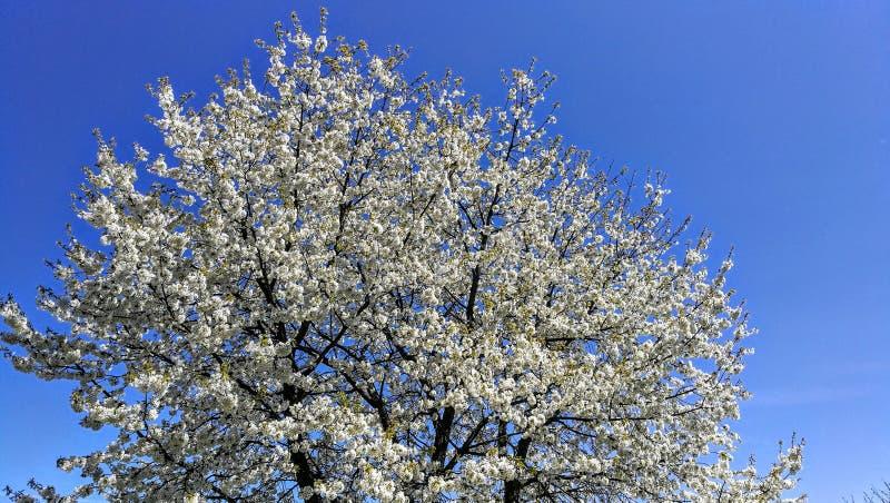 ανθισμένο κεράσι δέντρο στοκ εικόνες