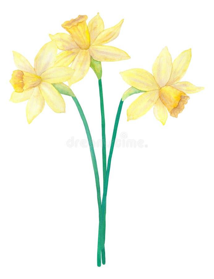 Ανθοδέσμη άνοιξη των φωτεινών κίτρινων daffodils ή των ναρκίσσων λουλούδια τρία Συρμένη χέρι απεικόνιση watercolor Απομονωμένος σ ελεύθερη απεικόνιση δικαιώματος