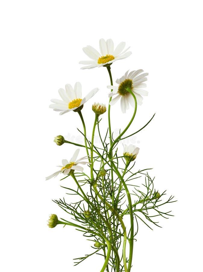 Ανθοδέσμη λουλουδιών της Daisy στοκ εικόνες