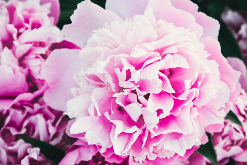Ανθοδέσμη πολλών peonies ρόδινου στενού επάνω χρώματος r Σύσταση λουλουδιών Peony στοκ εικόνα