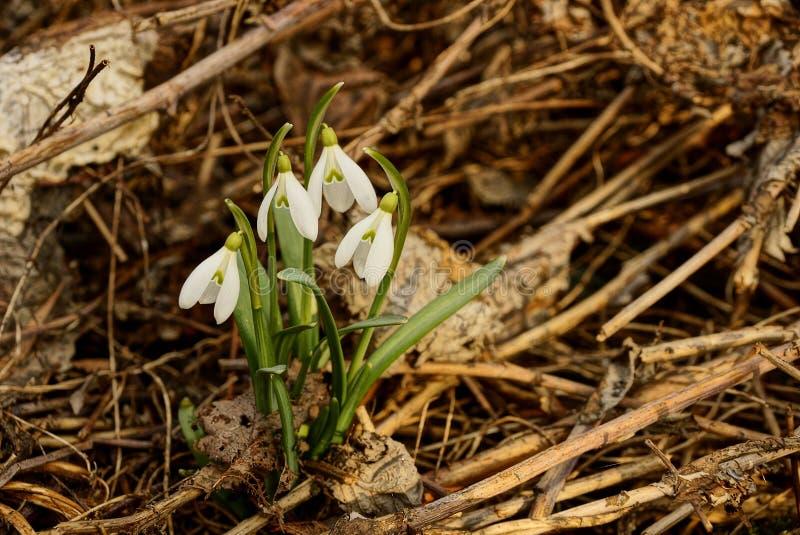 Ανθοδέσμη των άσπρων snowdrops στην ξηρά χλόη υπαίθρια στοκ εικόνες