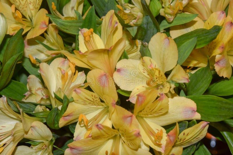 Ανθοδέσμη των κίτρινων κρίνων Alstroemeria στοκ φωτογραφία