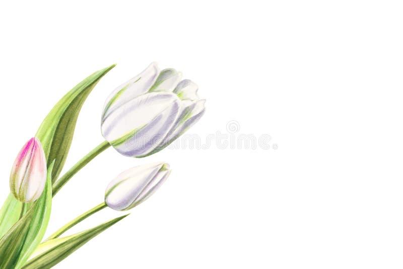 Ανθοδέσμη των όμορφων άσπρων τουλιπών Σχέδιο δεικτών E E διανυσματική απεικόνιση
