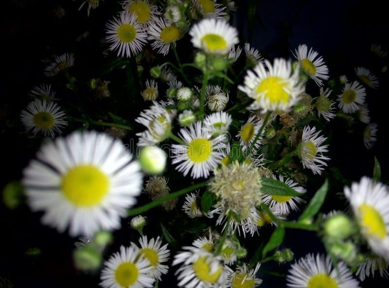 ανθοδέσμη χλωρίδας υποβάθρου λουλουδιών camomiles στοκ εικόνες με δικαίωμα ελεύθερης χρήσης