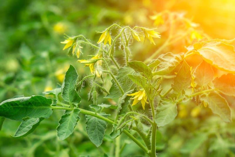 Ανθοφορία τοματών που καλλιεργούν βιολογικά φυτά στοκ εικόνα με δικαίωμα ελεύθερης χρήσης