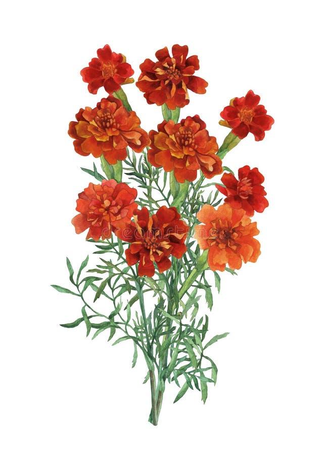 Ανθοδέσμη του patula Tagetes, γαλλικό marigold απεικόνιση αποθεμάτων