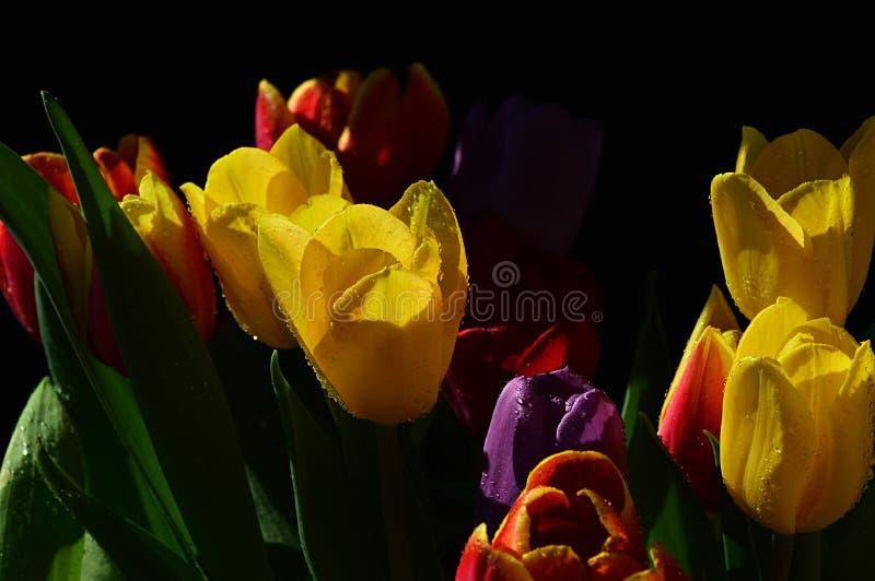 Ανθοδέσμη των φρέσκων λουλουδιών τουλιπών των διάφορων χρωμάτων, συνήθως κίτρινων, στο μαύρο υπόβαθρο στοκ εικόνες