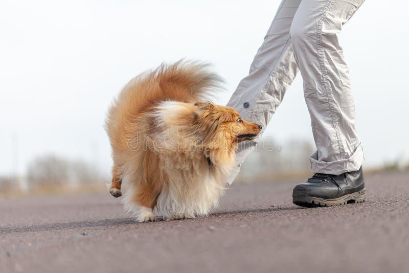 Ανθρώπινα άλματα τραίνων πέρα από τα πόδια με ένα τσοπανόσκυλο Shetland στοκ εικόνες με δικαίωμα ελεύθερης χρήσης