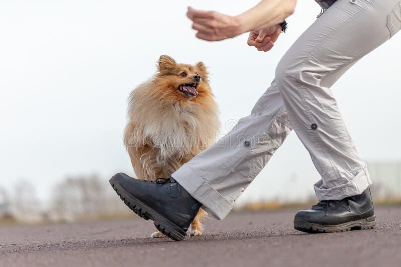 Ανθρώπινα άλματα τραίνων πέρα από τα πόδια με ένα τσοπανόσκυλο Shetland στοκ εικόνα