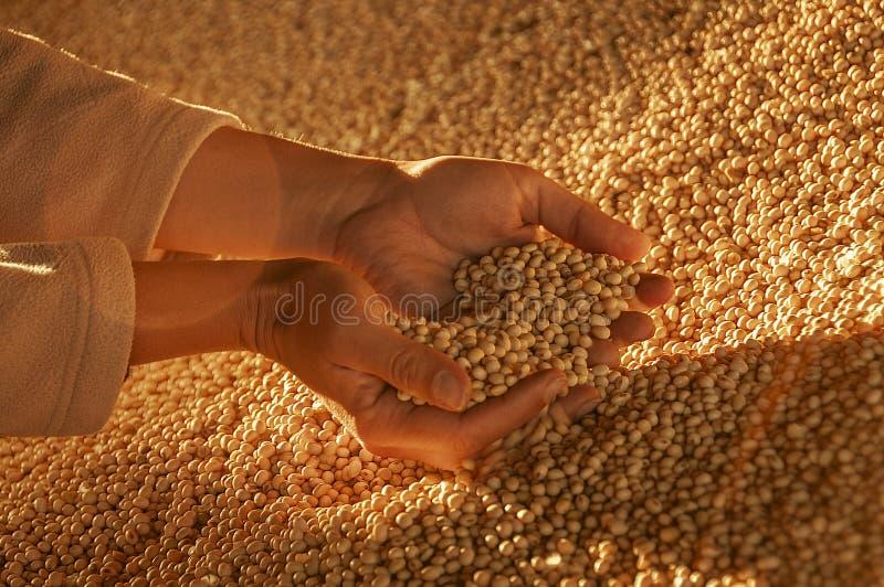 Ανθρώπινα χέρια με τους σπόρους σόγιας στοκ εικόνες