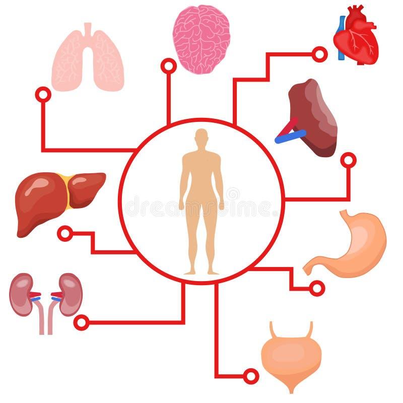 Ανθρώπινα όργανα, ένα έμβλημα από τα όργανα του ατόμου και το ανθρώπινο σώμα απεικόνιση αποθεμάτων